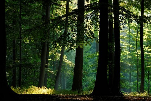 Stock Photo: 1848-102532 Beam of light breaking through canopy of leaves, morning mood in beech forest, Projensdorfer Gehoelz, Kiel, Schleswig_Holstein, Germany, Europe