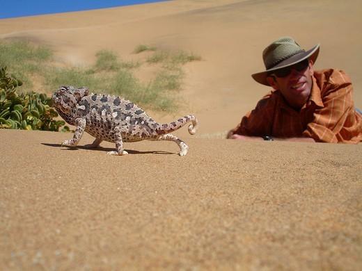 Stock Photo: 1848-10257 Namaqua Chameleon, Namib desert near Swakopmund, Namibia