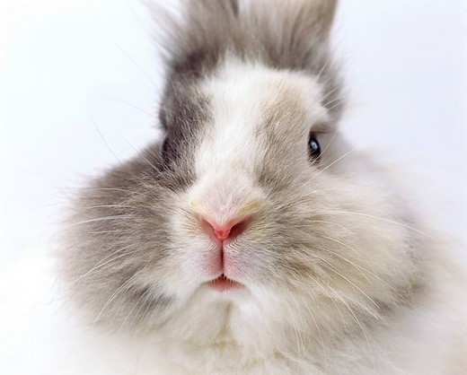 Domestic rabbit Oryctolagus cuniculu : Stock Photo