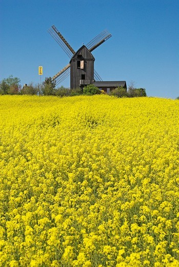 Stock Photo: 1848-103392 Canola field in front of the windmill Pudagla, Usedom island, Mecklenburg Western Pomerania, Germany, Europe