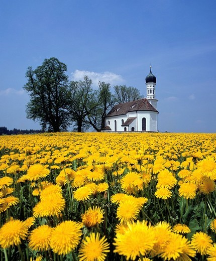 Andreas church near Etting, dandelion meadow in spring, Upper Bavaria, Germany : Stock Photo