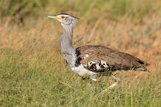 Kori Bustard Ardeotis kori, Samburu National Reserve, Kenya, East Africa, Africa : Stock Photo