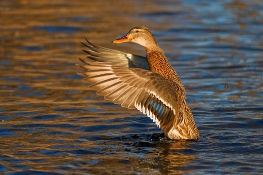 Stock Photo: 1848-106582 Mallard Anas platyrhynchos, female flapping its wings, Tiveden National Park, Sweden, Scandinavia, Europe