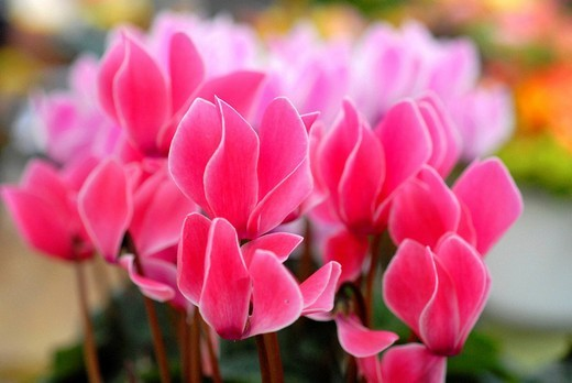 Stock Photo: 1848-107796 Sowbreads or Persian Violets Cyclamen, market, Schwaebisch Gmuend, Baden_Wuerttemberg, Germany, Europe