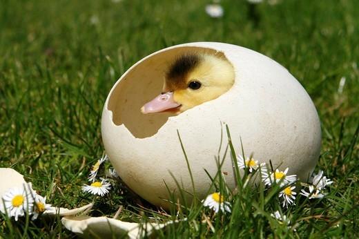 Stock Photo: 1848-109424 Duckling
