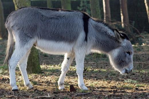 Stock Photo: 1848-109879 Miniature donkey in backlight, Netherlands, Europe