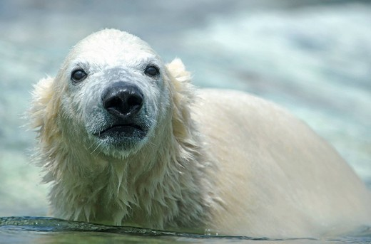 Young Polarbear Wilber Ursus maritimus, Wilhelma Stuttgart, Baden_Wuerttemberg, Germany, Europe : Stock Photo