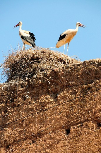 Storks nesting on the walls of the El Badi Palace, Marrakech, Morocco, Africa : Stock Photo