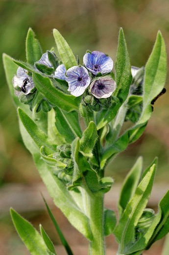 Stock Photo: 1848-110481 Blue Hound´s Tongue or Crete Hound´s Tongue Cynoglossum creticum, Camargue, Provence, Southern France, France, Europe