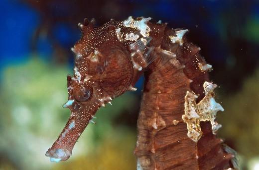 Kuda seahorse Hippocampus kuda : Stock Photo