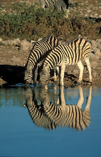 Plains zebras Equus burchelli with reflection at watering hole, Namibia, Africa : Stock Photo