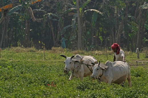 Man at field work with oxen in a chili field near Chatra, Westbengalia, India : Stock Photo