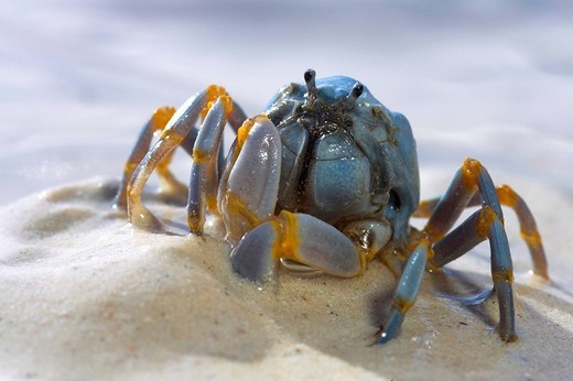 Stock Photo: 1848-111412 Soldier crab in the sand, Phillipines