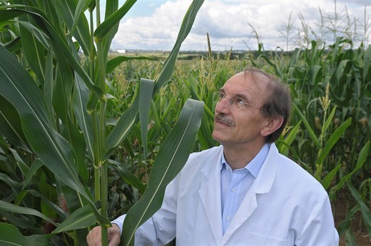 Prof. Dr. Melchinger, hybrid research, standing beside the first generation plants on the experimental corn field at the University of Hohenheim, Baden_Wuerttemberg, Germany, Europe : Stock Photo