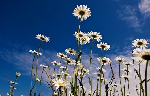 White Oxeye Daisy, Marguerite Leucanthemum vulgare : Stock Photo