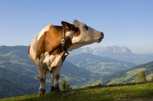 Stock Photo: 1848-114702 Cow on alpine pasture, Hirzegg alpine pasture, Spertental, Kirchberg, Tyrol, Austria, Europe