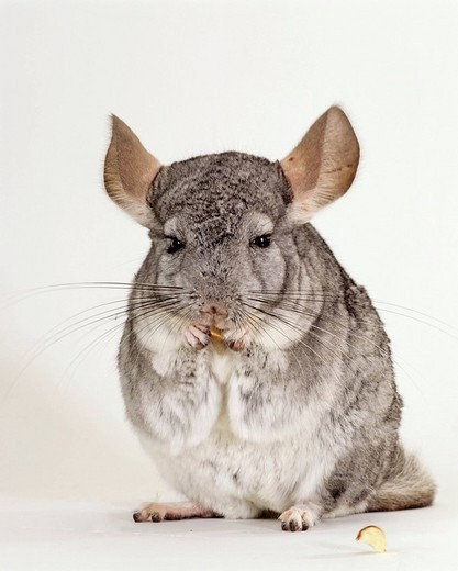 Feeding Long_tailed Chinchilla Chinchilla lanigera : Stock Photo