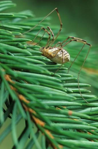 Opilione Opiliones spec : Stock Photo