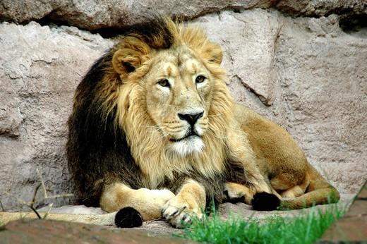 Stock Photo: 1848-117675 Lion Panthera leo, Nuremberg Zoo, Nuremberg, Bavaria, Germany, Europe
