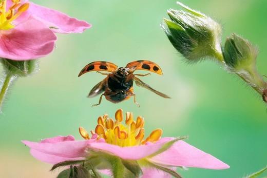 Stock Photo: 1848-118082 Asian Lady Beetle Harmonia axyridis