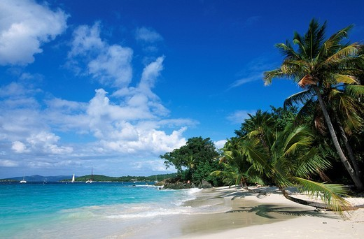 Palm trees on a beach, Solomon Bay, St. John Island, United States Virgin Islands, Caribbean : Stock Photo