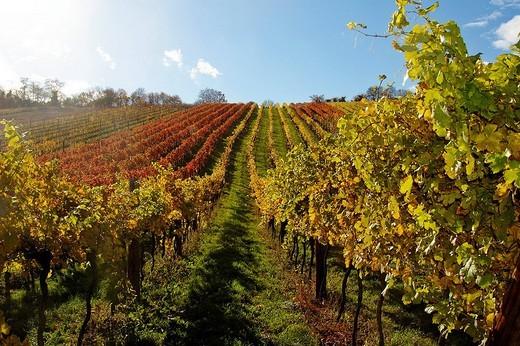 Autumn foliage, vineyard, Klosterneuburg, Austria : Stock Photo