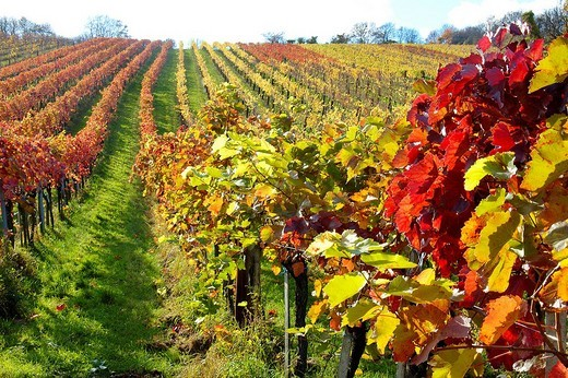Autumn foliage, vineyard, Klosterneuburg, Austria : Stock Photo