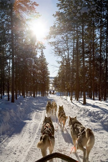Sled dog tour with Siberian Huskies in Kiruna, Lappland, North Sweden, Sweden : Stock Photo