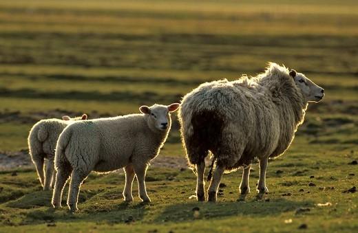 Sheep Schleswig_Holstein Germany : Stock Photo