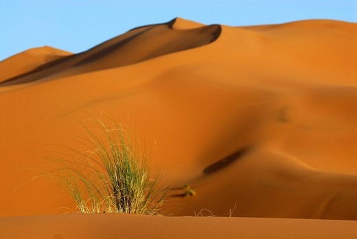 Tuft of grass in the desert sand in front of a large sand dune, Erg Chebbi, Merzouga, Morocco, North Africa : Stock Photo