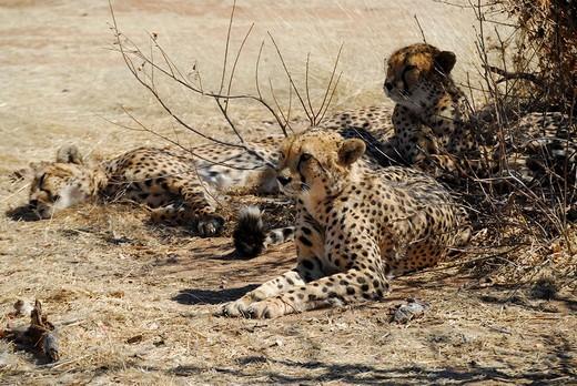 Cheetahs under a bush, Otjototongwe Cheetah Farm, Kamanjab, Namibia : Stock Photo