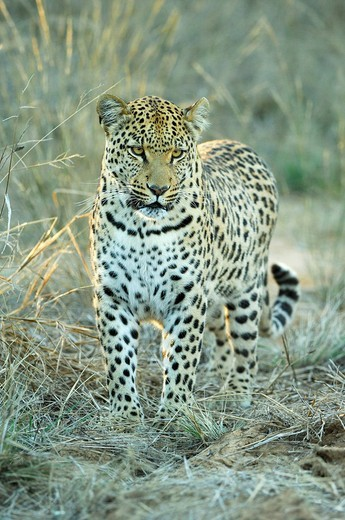 Leopard Panthera pardus in evening light : Stock Photo