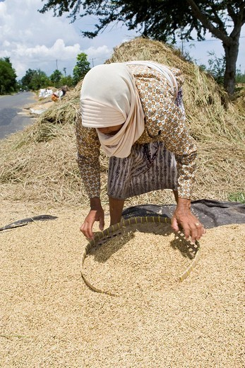 Woman filling rice into a sieve, so as to separate the rice from its husk in the wind, Lombok Island, Lesser Sunda Islands, Indonesia : Stock Photo