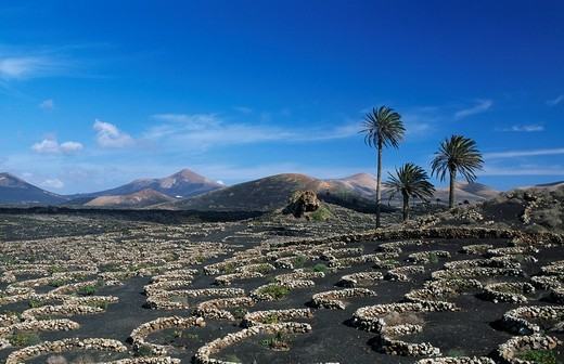 Stock Photo: 1848-124196 Vineyard on the volcanic mountains by Uga in Lanzarote, Canary Islands, Spain, Europe
