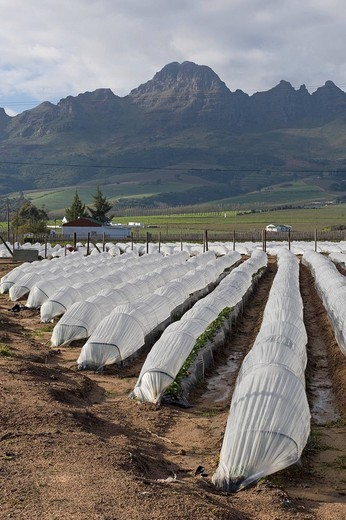 Strawberry cultivation under a row cover, Stellenbosch, South Africa, Africa : Stock Photo
