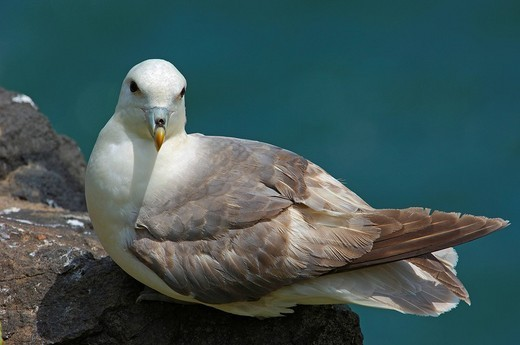 Northern fulmar Fulmarus glacialis : Stock Photo