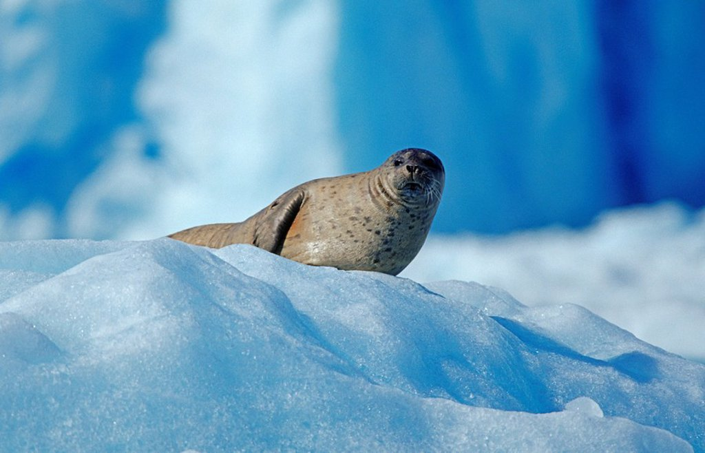 Seal resting on an ice floe, Prince William Sound, Alaska, USA : Stock Photo
