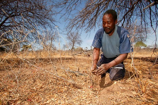 Traditional healer digging for various medicinal herbs, Sehitwa, Botswana, Africa : Stock Photo