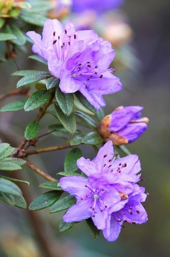 Stock Photo: 1848-125911 Blue Tit Rhododendron impeditum