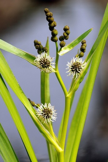Branched Bur Reed Sparganium erectum : Stock Photo
