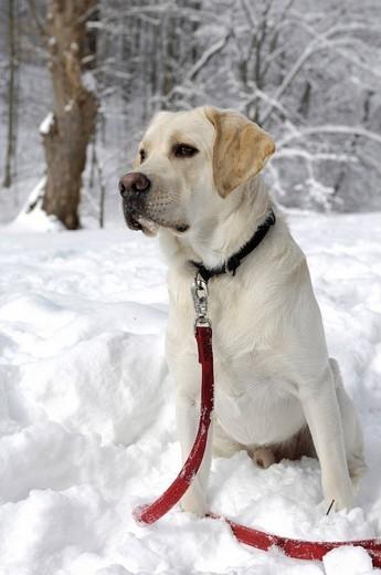 Stock Photo: 1848-126126 Labrador dog on white winter snow
