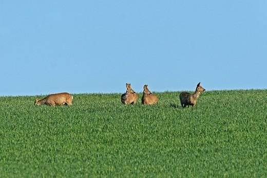 Stock Photo: 1848-131189 Roe Deer capreolus capreolus