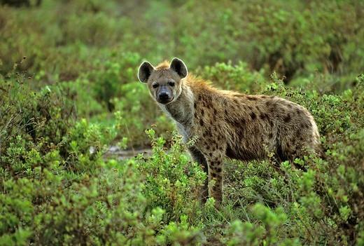 Stock Photo: 1848-131357 Spotted Hyena, Crocuta corcuta, Amboseli NP, Africa