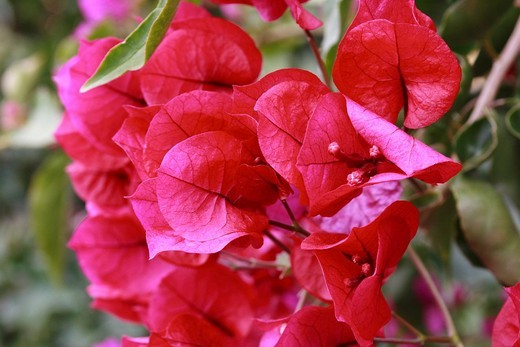 Stock Photo: 1848-131389 Red Bougainvillea, Madeira, Portugal