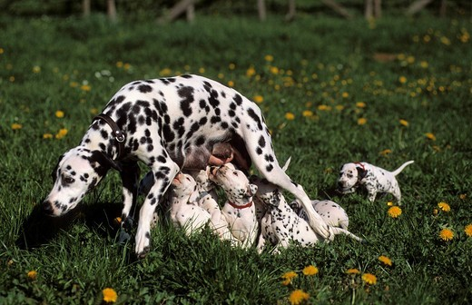 Young dalmatian dog in grassland, eleven puppies : Stock Photo