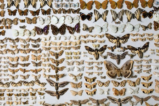 Butterfly collection at the Museum of Natural History in Berlin, Germany : Stock Photo