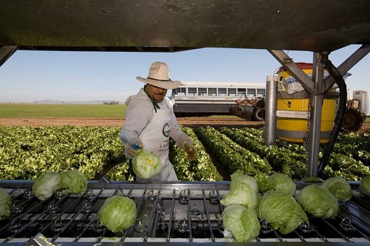 Mexican worker harvesting iceberg lettuce on a large farm, Yuma, Arizona, USA : Stock Photo