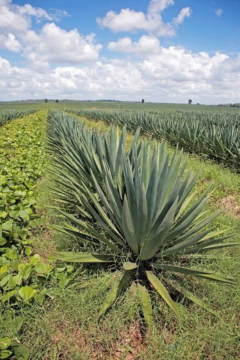 Sisal plantation in Tanzania, Africa : Stock Photo