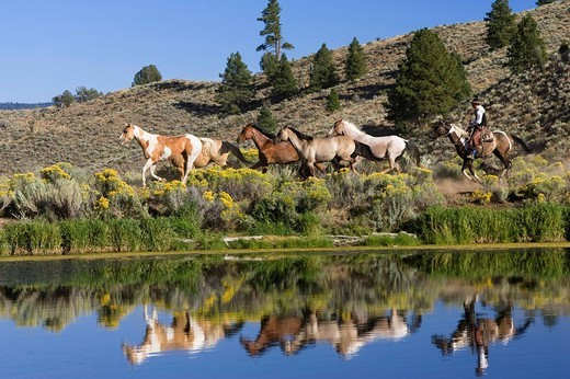 Cowboy with horses, Oregon, USA : Stock Photo