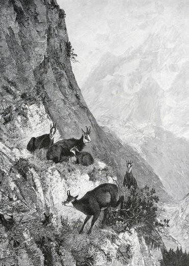 Stock Photo: 1848-133806 Aufgescheuchte Gemsen, woodcut depicting Flushed Chamoix from Moderne Kunst in Meisterholzschnitten 1903